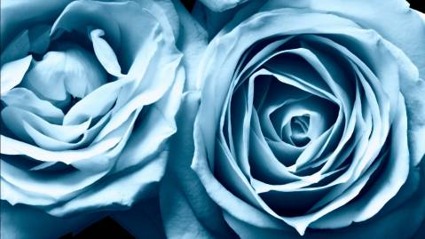 Blue Roses Widescreen