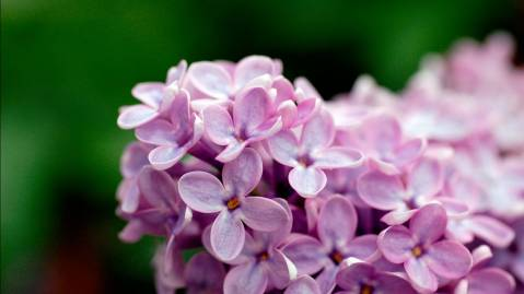 Light Purple Flowers 1080p