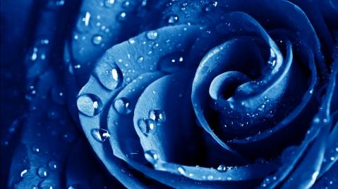 Wet Drops Blue Rose