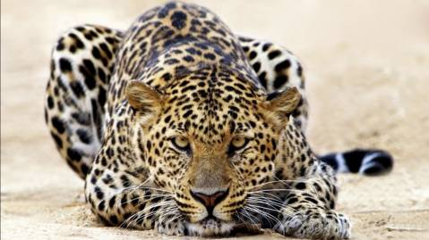 leopard staring