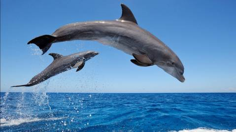common bottlenose dolphins
